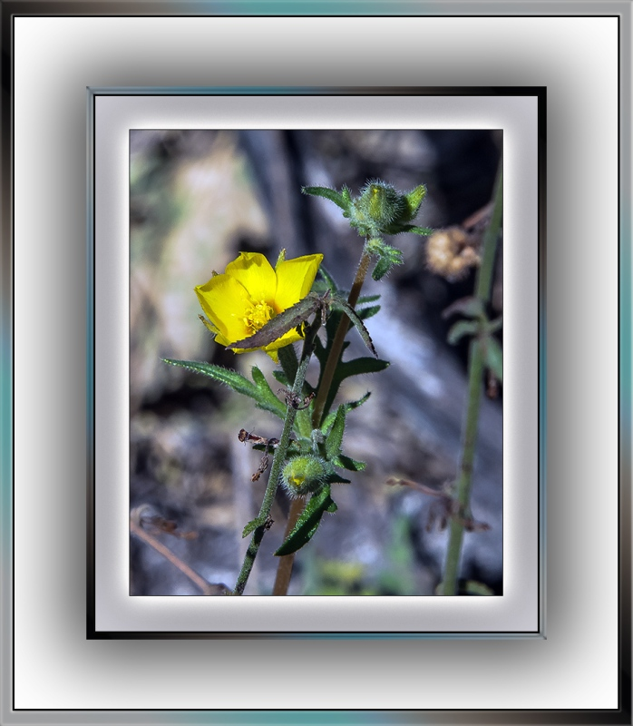yellow wildflower (1 of 1)-2 evening primrose blog