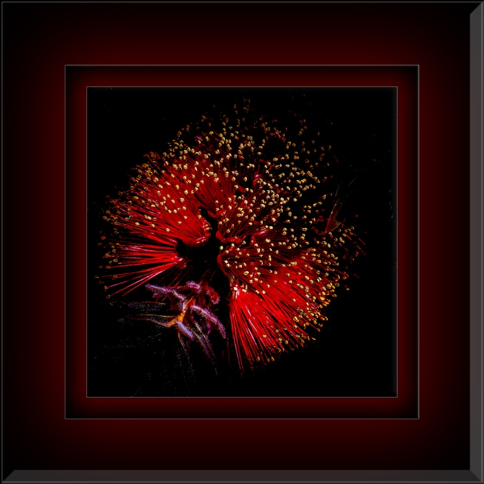 Bottlebrush Blossom (1 of 1) art blog