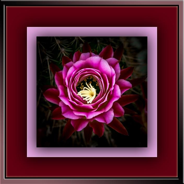 Cactus Flowers (1 of 1)-2 art-blog