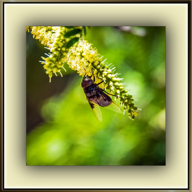 Carpenter Bee On Mesquite Bloom (1 of 1) blog