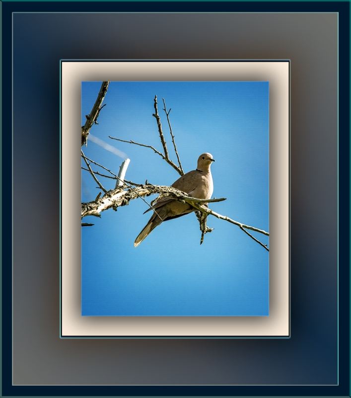 Collared Dove (1 of 1)-3 blog