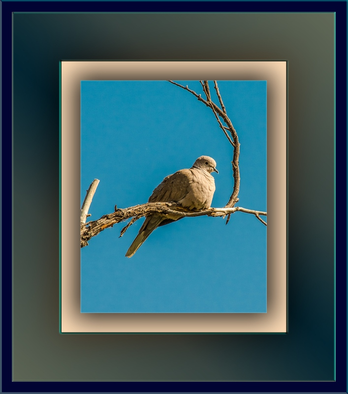 Collared Dove (1 of 1)-4 blog