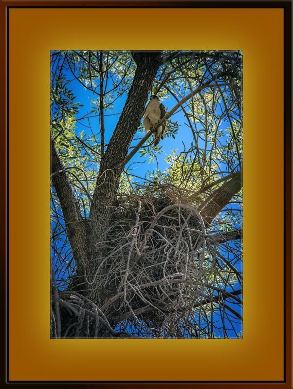 Cooper's Hawk Over Nest (1 of 1) blog