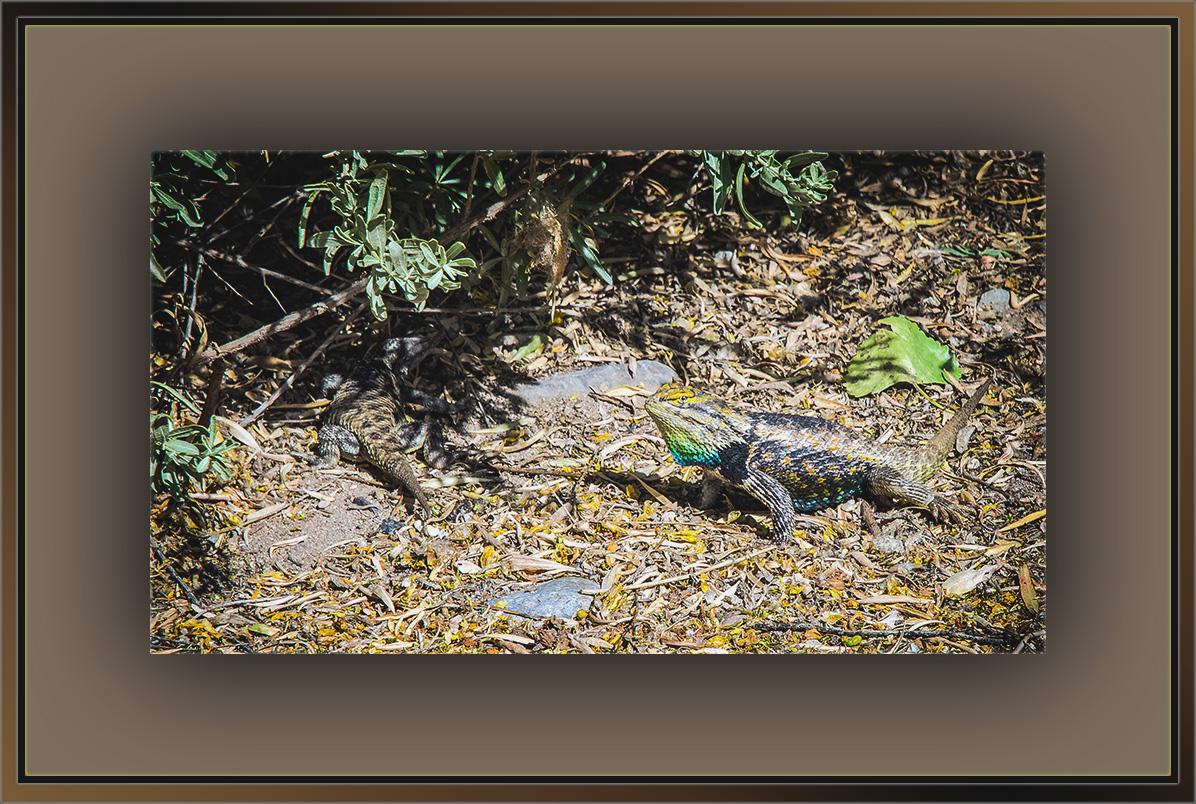 Desert Spinny Lizard (1 of 1) blog