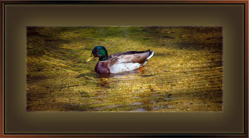 Mallard Duck (1 of 1) blog