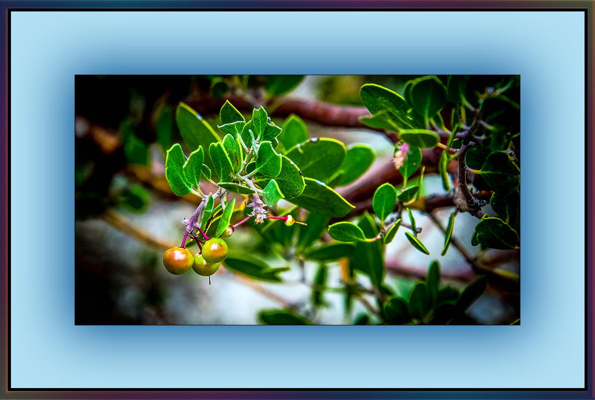 Manzanita (1 of 1) Little Apple blog