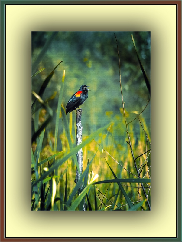 Red-winged Blackbird (1 of 1) art blog