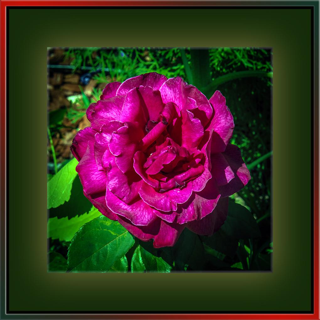 University Avenue Yard Flowers (1 of 1)-4 blog