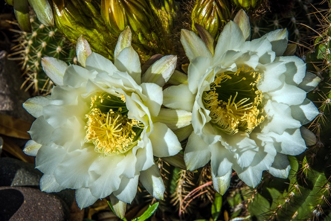 White Cactus Flowers (1 of 1)-3 blog