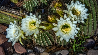 White Cactus Flowers (1 of 1)-4 blog