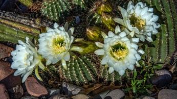White Cactus Flowers (1 of 1)-4 blog