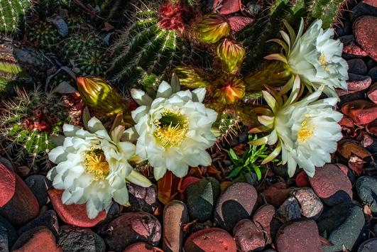 White Cactus Flowers (1 of 1)-6 blog