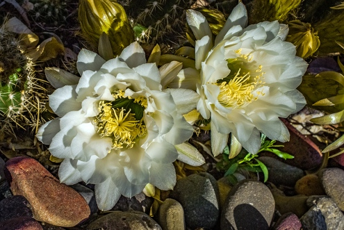 White Cactus Flowers (1 of 1)-7 blog