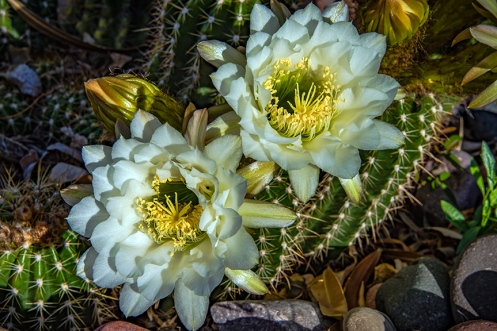White Cactus Flowers (1 of 1) blog
