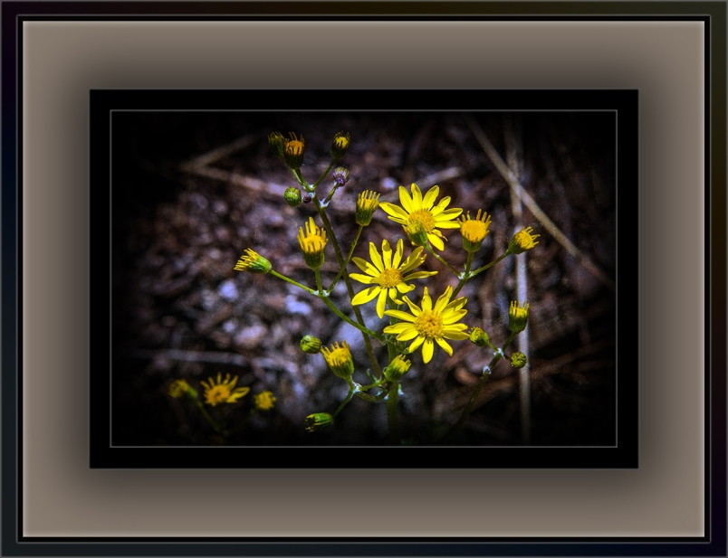 New Mexico groundsel (1 of 1)-21 blog
