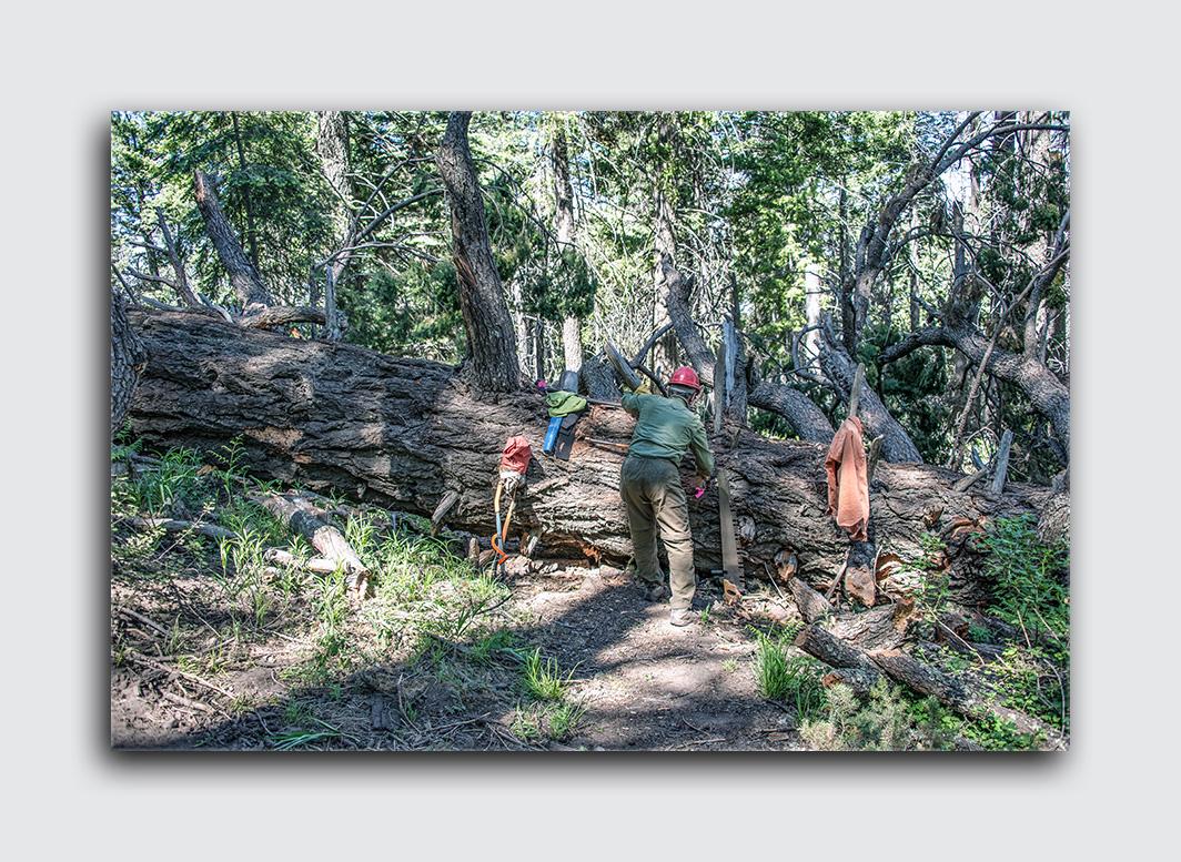 Downed Mt Lemmon Tree (1 of 1)-2 blog