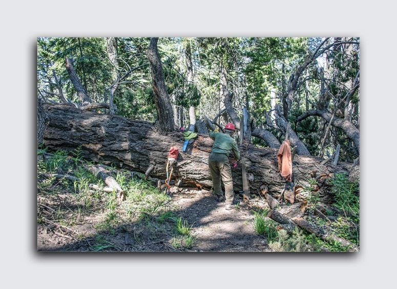 Downed Mt Lemmon Tree (1 of 1)-2 blog