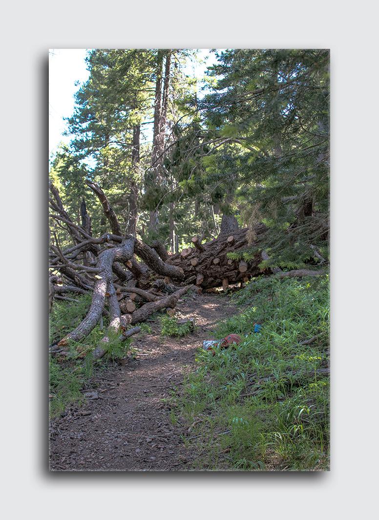 Downed Mt Lemmon Tree (1 of 1)-5 blog