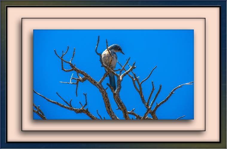 Grand Canyon Blue Bird (1 of 1) blog