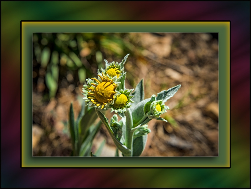 Mt Lemmon Wildflower (1 of 1)-2 blog