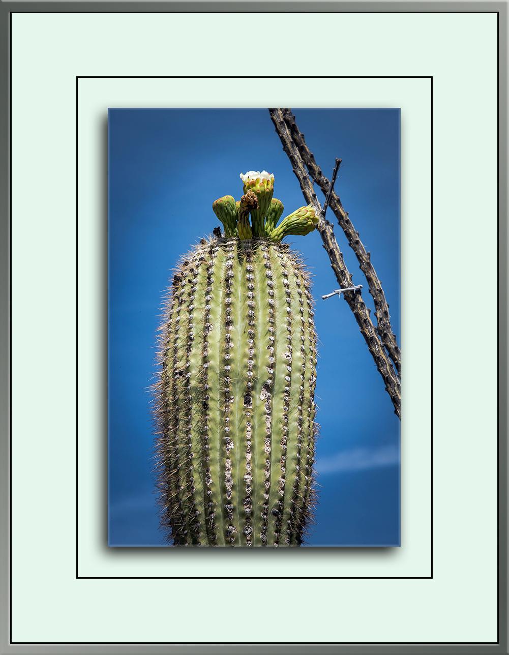 Saguaron Blossom (1 of 1)-2 blog