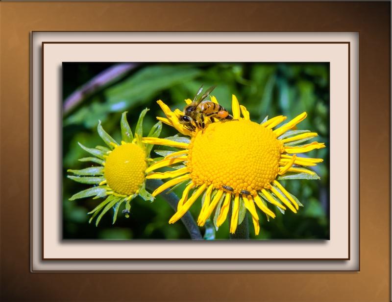 Bee and Sneezeweed (1 of 1)-2 blog