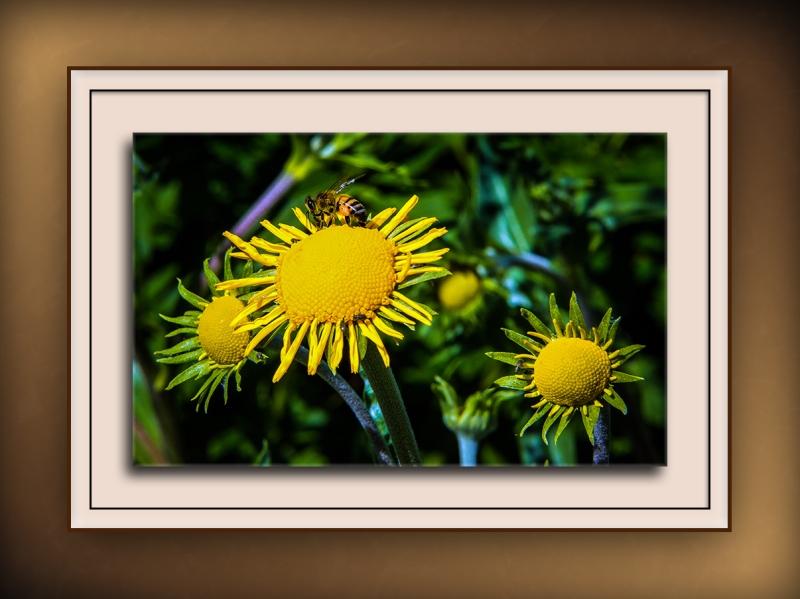 Bee and Sneezeweed (1 of 1) blog