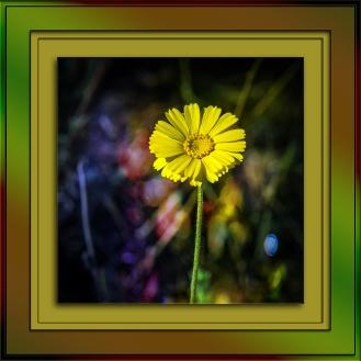 Desert Marigold (1 of 1)-2 art blog