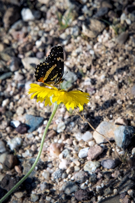 Desert Marigold - Butterfly (1 of 1) blog