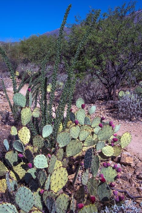 ocotillo (1 of 1)-2 blog