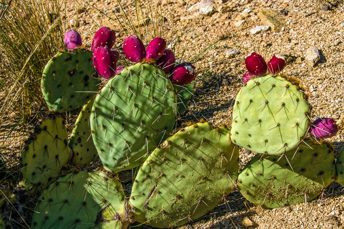 Prickly Pear Fruit (1 of 1)-2