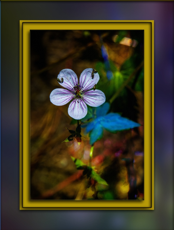Richardson's geranium (1 of 1) art blog