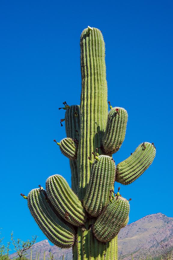 Saguaro Blossom (1 of 1) blog