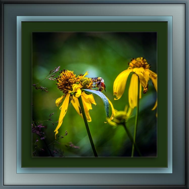Bee on Sneeze weed (1 of 1) blog