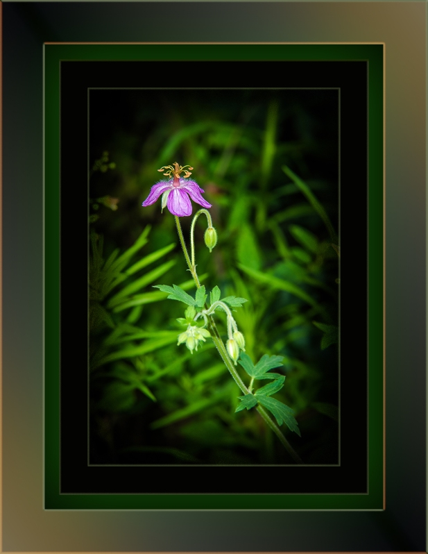 Cranesbill Geranium (1 of 1) art blog