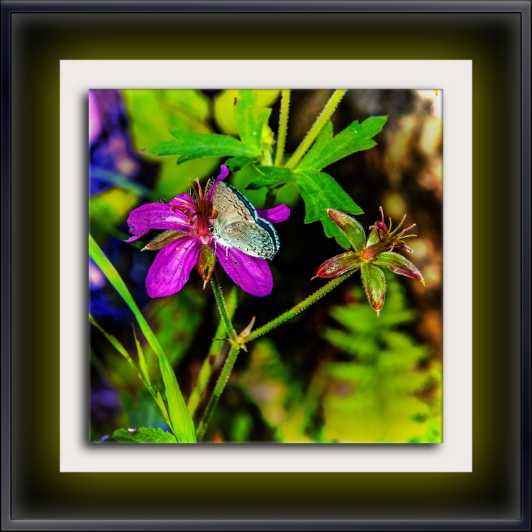 Lupine Blue Butterfly on Cranesbill (1 of 1) art blog