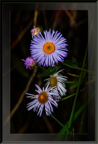 Sunset Trail Arizona Fleabane (1 of 1) blog