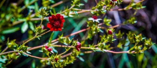 Thurber cinquefoil (1 of 1)-5 blog