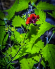 Thurber cinquefoil (1 of 1)-6 blog