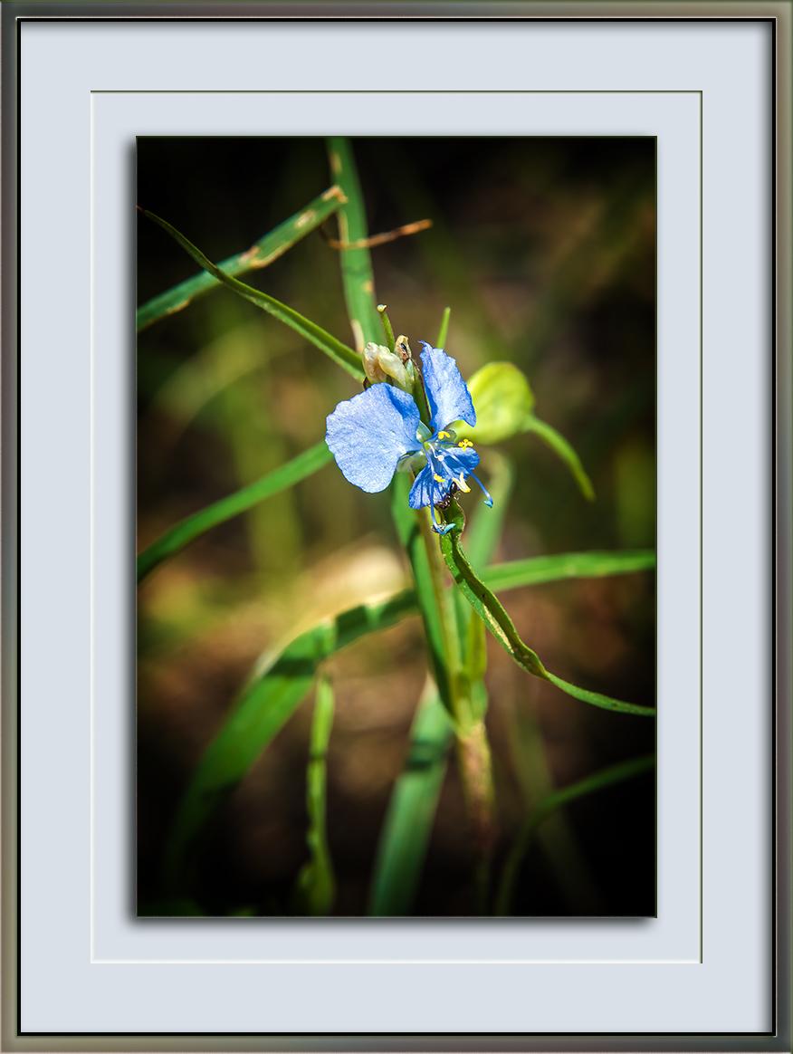 western dayflower (1 of 1)-2 blog