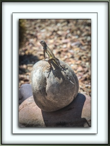 Zebra-Tailed Lizard (1 of 1)-3 blog