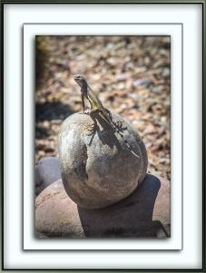 Zebra-Tailed Lizard (1 of 1)-3 blog