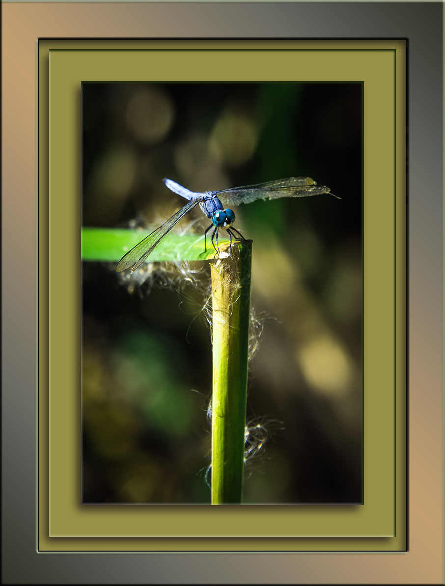 sweetwater-dragonfly-blue-dasher-1-of-1-blog