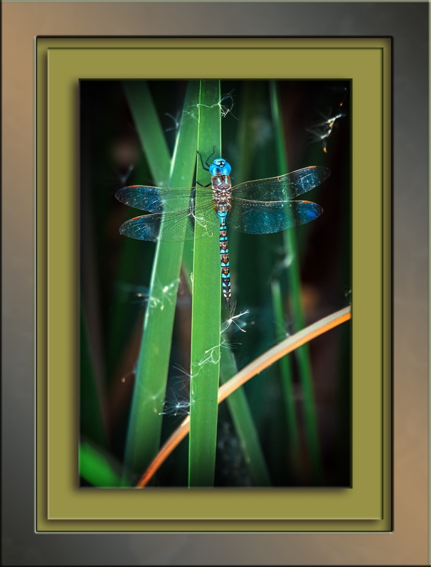 sweetwater-dragonfly-dasher-blue-1-of-1-2-blog