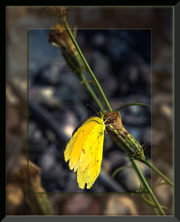 yellow-butterfly-1-of-3-blog
