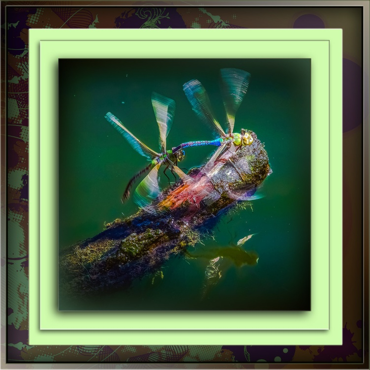 emporer-dragonflies-mating-1-of-1-ii-blog