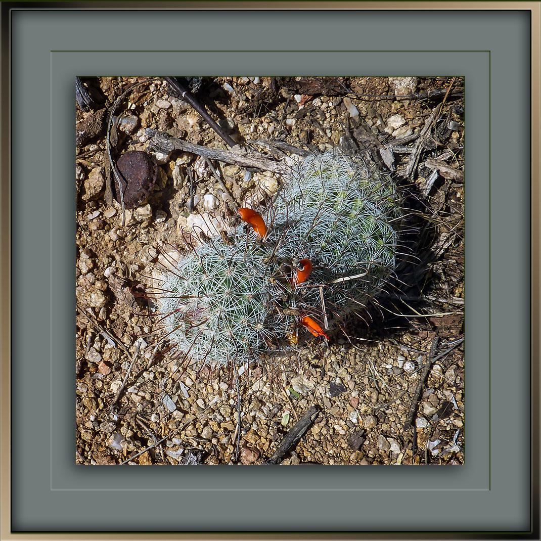 pincushion-cactus-2015-09-25-09-59-57-blog