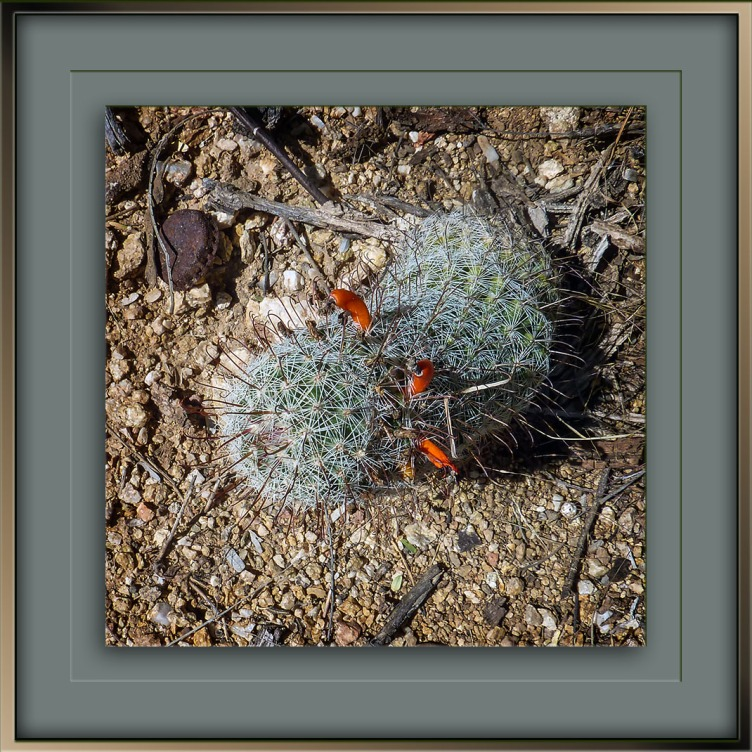 pincushion-cactus-2015-09-25-09-59-57-blog