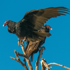 turkey-vulture-1-of-1-11-blog