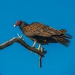 turkey-vulture-1-of-1-14-blog